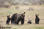 Grizzly bear sow and four young cubs. Yellowstone National Park, Wyoming.