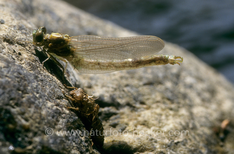 Kleine Zangenlibelle, Zangen-Libelle, Schlupf, Metamorphose, Männchen, Onychogomphus forcipatus, Small Pincertail, eclosion, metamorphosis