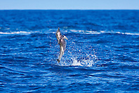 Long-snouted Spinner Dolphin, calf leaping, Stenella longirostris, off Kona Coast, Big Island, Hawaii, Pacific Ocean.