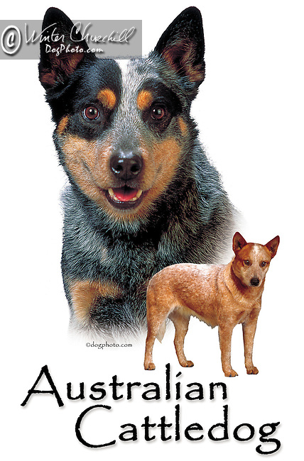 Australian Cattledog This design is offered on gift merchandise ONLY.<br />