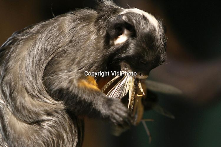Foto: VidiPhoto..RHENEN - Geen beschuit met muisjes, maar grote en dikke sprinkhanen als feestmaal. Dat kregen de roodbuik tamarins van Ouwehands dierenpark in Rhenen vrijdag als lekkernij vanwege de geboorte van twee jonge aapjes. De dieren zijn dol op de levende sprinkhanen, maar krijgen de insecten alleen bij bijzondere gelegenheden. Zoals nu dus..