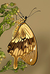 Mocker Swallowtail Butterfly, Papilio Dardanus, side view of wings resting on flower, brown, male, .Africa....