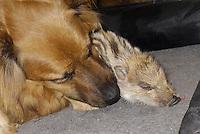 """Wildschwein, verwaistes, pflegebedürftiges, in Menschenhand gepflegtes, zahmes Jungtier spielt mit Hund, Freundschaft zwischen Hund """"Laska"""" und Wildtier, Wild-Schwein, leben gemeinsam im Haus und teilen sich zum schlafen das Körbchen, Schwarzwild, Schwarz-Wild, Frischling, Junges, Jungtier, Tierkind, Tierbaby, Tierbabies, Schwein, Sus scrofa, wild boar, pig"""