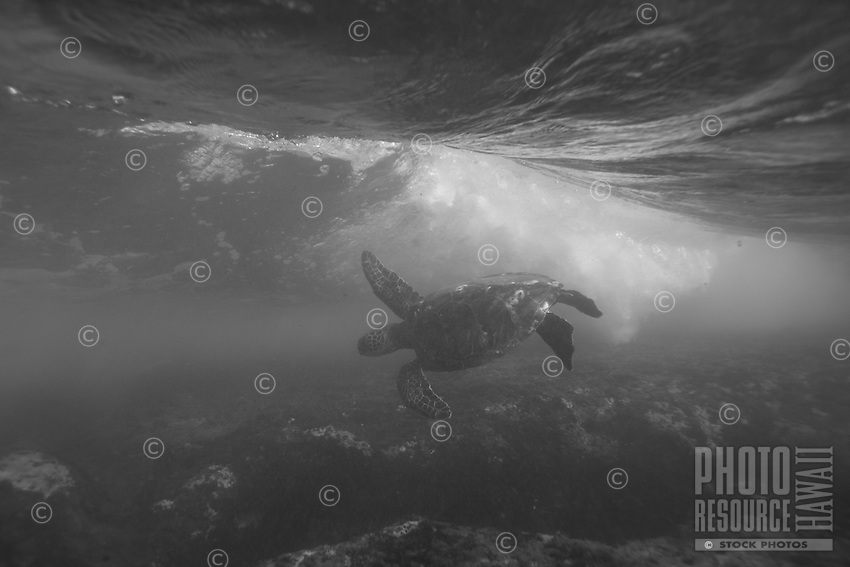 A honu braves a breaking wave while feeding along the North Shore of O'ahu.