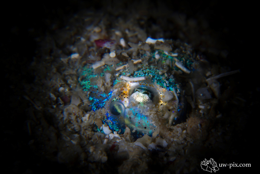 bobtail squid snoot Komodo National Park - Indonesia