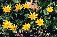 Gewöhnliches Scharbockskraut, Scharbocks-Kraut, Frühlingsscharbockskraut, Frühlings-Scharbockskraut, Ranunculus ficaria, Ficaria verna, Lesser Celandine, Pilewort