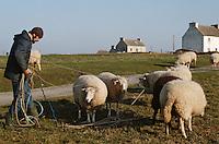 Europe/France/Bretagne/29/Finistère/Ile d'Ouessant: Fête des moutons, berger au rabattage des moutons [Non destiné à un usage publicitaire - Not intended for an advertising use]