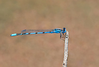 320240019 a wild male familiar bluet enellagma civile perches on a dead twig over the lake at parker canyon lake cochise county arizona