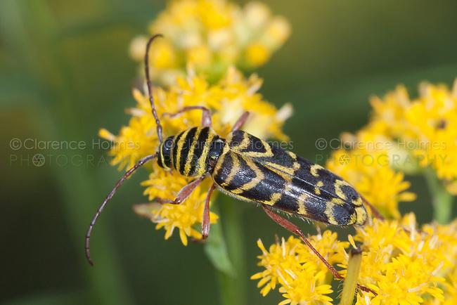 Locust Borer Beetle (Megacyllene robiniae),  Ward Pound Ridge Reservation, Cross River, Westchester County, New