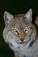 657140007 portrait of a captive lynx felis lynx that is a wildlife rescue native to the northern tier of north america