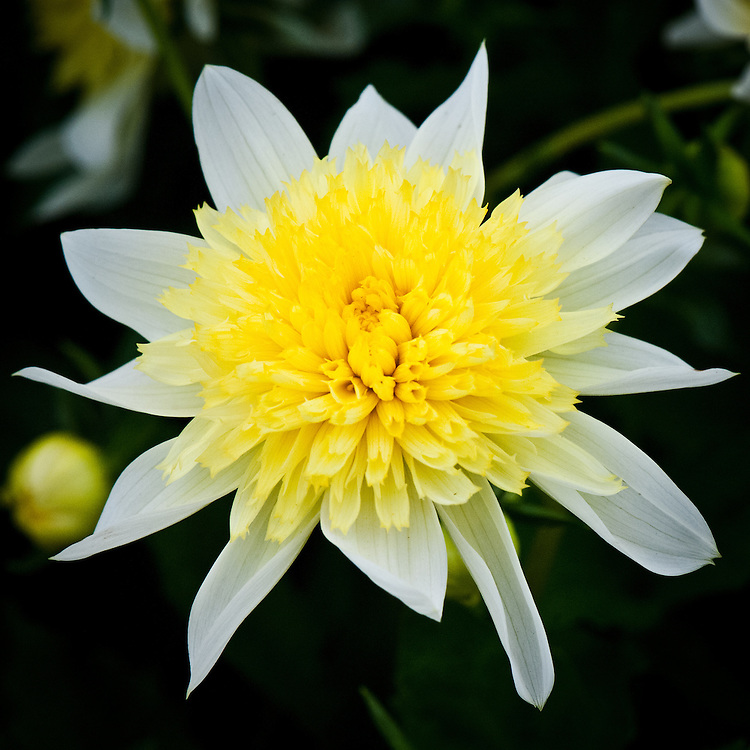 Dahlia 'Freya's Paso Doble', early July. A yellow and white, Anemone-Flowered Group dahlia.