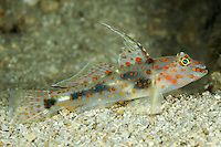 Amblyeleotris guttata, Russbauch Partnergrundel, Spotted shrimpgoby, Labuan Lalang, Nord Bali, Indonesien, Indopazifik, North Bali, Indonesia Asien, Indo-Pacific Ocean, Asia