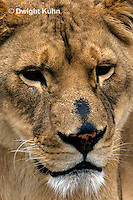 MA39-009z  African Lion - face - Panthera leo
