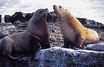 Steller sea lion bulls