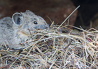 A pika gathers food for the future.