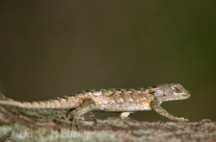 a wild texas spiny lizard sceloporus olivaceous reptile perches on a tree in the rio grande valley hidalgo county south texas united states