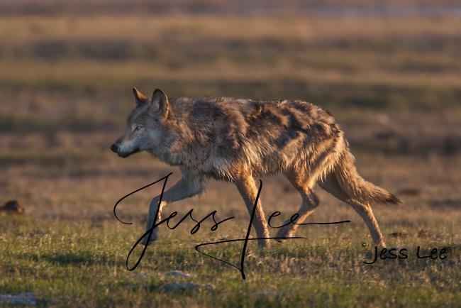wolf hunting at sunrise