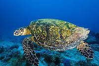 Hawksbill turtle, latin name Eretmochelys imbricata, Gulf of Aden, seven brothers islands, Sawabi Islands, off Djibouti coast, Africa