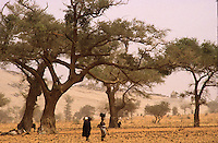 """Acacia albida""is the only tree in the Sahel that keeps its canopy in the dry season. It loses its leaves in the rainy season, when the crops sown together under the trees need more light to grow. The branches that are cut are subsequently used as firewood or to construct fencing for animals. The acacias in general, being pulses, have self-fertilizing roots which lock nitrogen into the soil, thereby lending themselves to agroforestry.."