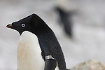 Banded Penguin, an eight-year-old male, Antarctica