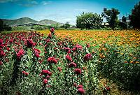 Oaxaca, Oax.- 17/10/2015.- Se acerca la celebraci&oacute;n de &ldquo;Muertos&rdquo; en Oaxaca, y con ello, la cosecha de arom&aacute;ticas flores de la temporada, mismas que as&iacute; como embellecen los campos, pr&oacute;ximamente adornaran lapidas, y altares en los hogares de la entidad, ya que la feligres&iacute;a cat&oacute;lica festeja a sus difuntos en recuerdo de sus memorias por estas fechas.<br /> <br />  <br /> <br /> El cultivo del &ldquo;Cempoalx&oacute;chitl&rdquo;  que en n&aacute;huatl significa flor de veinte p&eacute;talos, o tambi&eacute;n conocida por los oaxaque&ntilde;os como &ldquo;flor de muerto&rdquo;, as&iacute; como la labranza de la &ldquo;borla&rdquo; o llamada &ldquo;flor de gallo&rdquo;, requiere todo un proceso agr&iacute;cola para que en esta temporada pueda cosecharse; as&iacute; lo marran los pobladores de San Antonino Castillo Velasco, una comunidad de Oaxaca, donde  m&aacute;s de la mitad de la localidad son hortelanos y se dedican a la floricultura.<br /> <br />  <br /> <br /> En este contexto, los  floricultores de San Antonino Castillo Velasco, se&ntilde;alan que para ellos es todo un ritual el cultivo de estas dos peculiares flores tradicionales, que adornan con su belleza y aroma los panteones  en estas fechas, ya que requieren alrededor de 2 meses (Cempoalx&oacute;chitl) y 3 meses (Borla) para desarrollarse completamente.<br /> <br />  <br /> <br /> As&iacute; mismo, los pobladores se topan con obst&aacute;culos como la falta de lluvia, y algunas plagas que se atraviesan,  por lo que tienen que cuidar cada detalle para que estas dos flores tan delicadas se logren.<br /> <br />  <br /> <br /> A pesar de todo este procedimiento, se&ntilde;alan que su esfuerzo es mal pagado, ya que a parte del tiempo, inversi&oacute;n en semillas, agua, fertilizantes y aditamentos contra las plagas, as&iacute; como el gasto para el transporte y la distribuci&oacute;n, los precios de estas dos especies de plantas son muy mal pagados, ya que en 