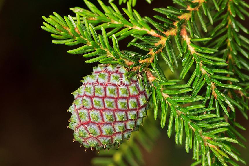 Cône femelle d'épicéa d'Orient, Picea orientalis // Cone of Caucasian Spruce or Oriental Spruce (Picea orientalis).