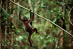 A young common woolly monkey (Lagothrix lagotricha) swings on a branch in the Amazon rainforest. Long limbs and a prehensile tail aid these agile primates in their arboreal lifestyle.