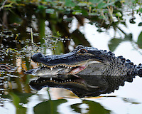 Photographed  early evening at Wakodahatchee Wetlands, Delray Beach, Florida. Alligators often seek food during early evening as the sun is setting. The Alligator grabbed the fish, flipped it upward, grabbed it again and commenced consuming dinner!