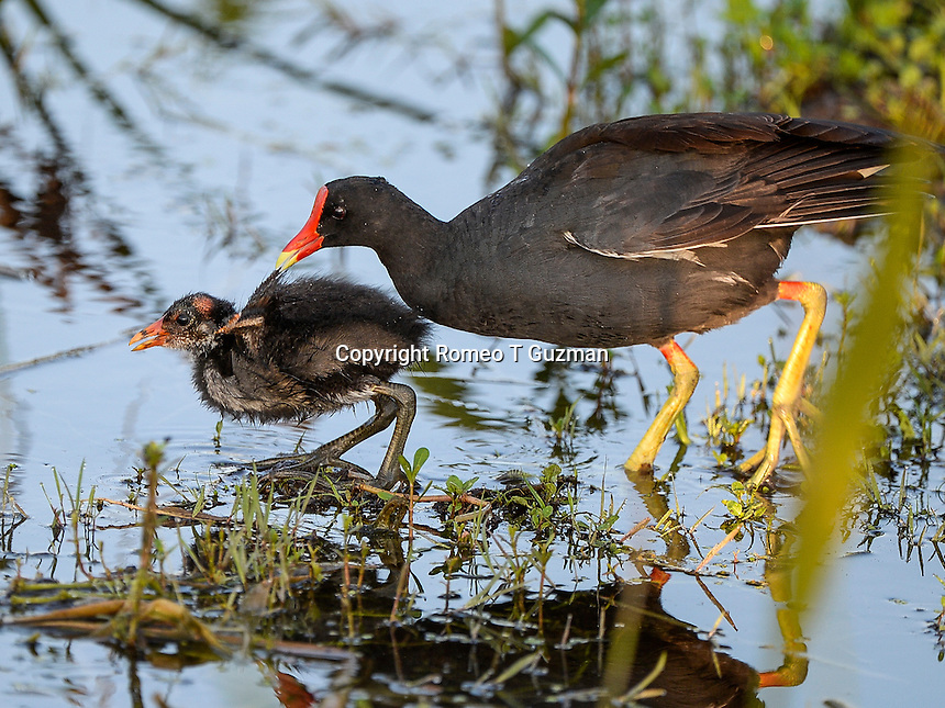 June 8, 2014: Common Gallinule (Gallinula galeata) Orlando Wetlands Park Christmas, FL