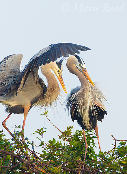 Great Bue Herons (Ardea herodias), pair interacting at a nest, Venice, Florida, USA