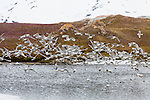 Black legged kittiwakes take flight after gatherering nesting material at Gnalodden, Norway, Svalbard