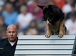 Vancouver, Canada, Aug 6th 2009. World Police and Fire Games, Police Service Dog Competition.    Ken Greenleaf of the Redondo Beach Police Department, California, USA, and his dog, Valor, a four-year-old male German Shepherd, in the Agility portion of the competition. Valor and Ken took first in the Overall, Obedience, Protection, and Search categories, for a total of four gold medals on this day.  Photo by Gus Curtis