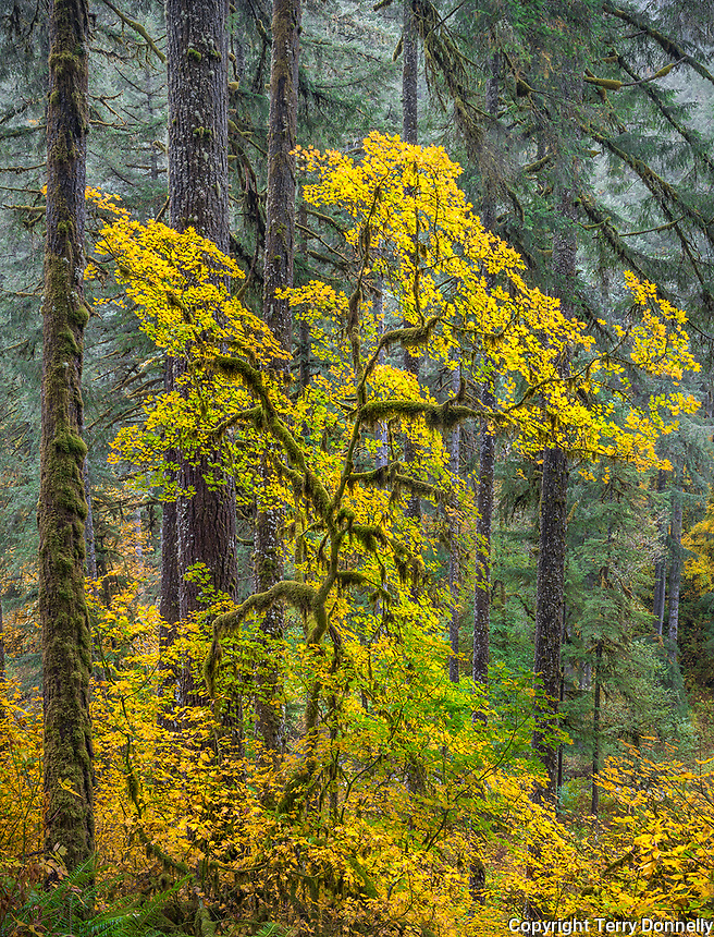 Silver Falls State Park, Oregon:<br /> Mossy branches of a bigleaf maple (acer macrophyllum) in fall color