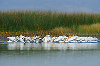 Flock of American White Pelicans (Pelecanus erythrorhynchos) cooperative feeding in a shallow marsh during fall migration. Malheur County, Oregon. September.