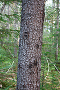 Black Spruce -(Picea mariana) - during the summer months in in the area of Passaconaway in Albany, New Hampshire USA