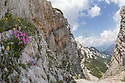 Woodland Pink {Dianthus sylvestris} growing on limestone cliff. Triglav National Park, Julian Alps, 2000m, Slovenia. July.