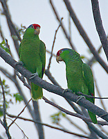 Pair of red-crowned parrots in tree