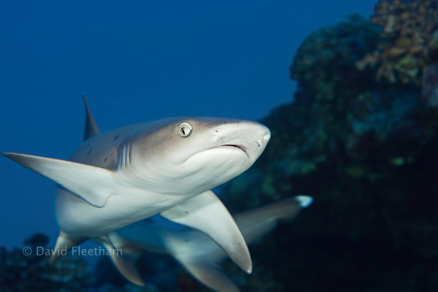 Whitetip reef shark, Triaenodon obesus, Hawaii.
