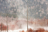 Winter in Kamikochi, with swirling snow rising up behind the ghost forest at Taisho-ike, Nagano, Japan.