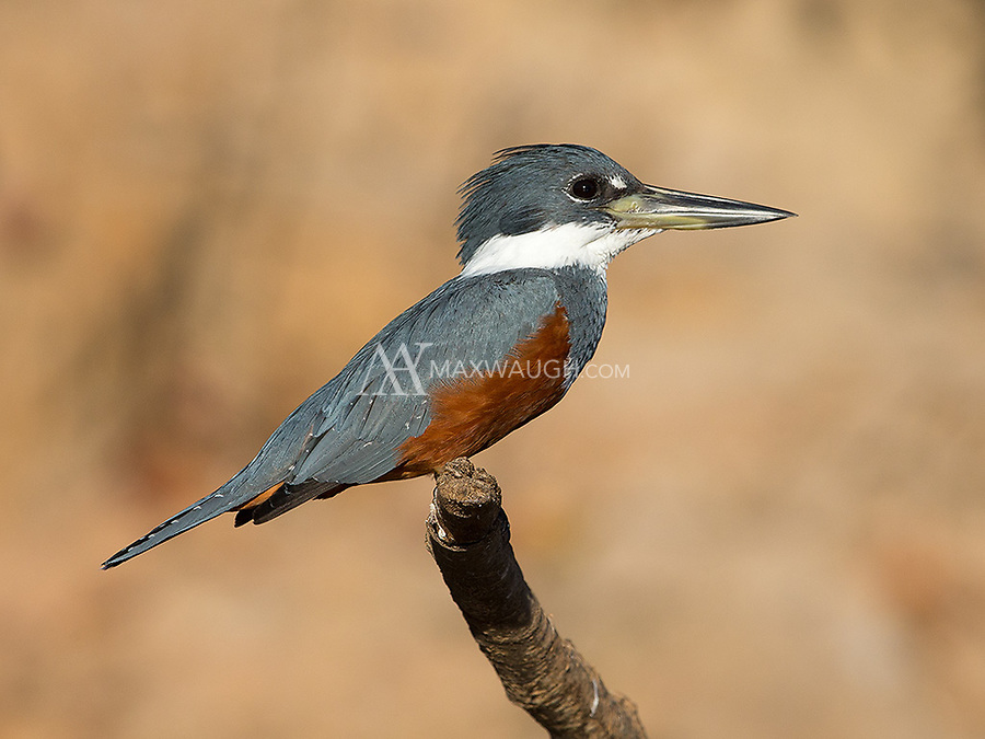 We saw four of the Pantanal's five species of kingfishers during this trip.  This was the largest.
