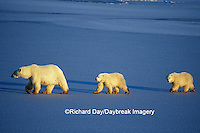 01874-01204 Polar Bears (Ursus maritimus) female with 2 cubs walking on frozen pond  Churchill  MB
