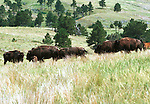Buffalo Herd, Ameican Bison, Buffalo, Animal, wild animals, domestic animals,  Fine Art Photography, Ronald T. Bennett, American Bison, Buffalo Ron Bennett Photo, animals in the wild, Bison bison, North American, American Buffalo, Grasslands of North America, Plains Bison, Wood Biso, Fine Art Photography by Ron Bennett, Fine Art, Fine Art photography, Art Photography, Copyright RonBennettPhotography.com ©