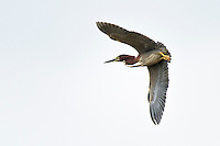 Green-backed Heron in flight. Used to be called a Green Heron.