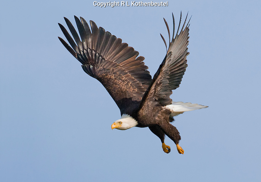 Bald eagle flying under blue skies.<br /> Skagit Flats near Mount Vernon, Washington<br /> 2/15/2010