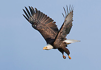 Bald eagle flying under blue skies.<br />