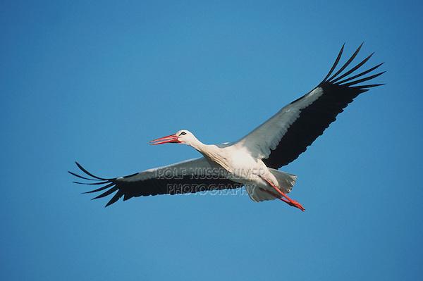 White Stork (Ciconia ciconia), adult in flight, Switzerland