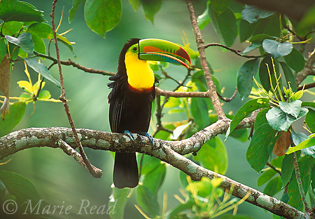 Keel-billed Toucan (Ramphastos sulfuratus), adult perched in forest, Gamboa, Panama.<br /> Slide B95-110