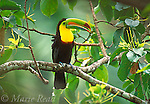 Motmots, Toucans, Hummingbirds, songbirds: Central America