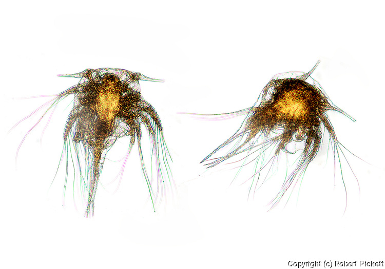 Barnacle Larvae, Nauplius sp. Microscopic, two, pair, white background, cut out, white light microscope
