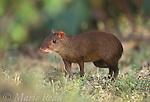 Central American Agouti (Dasyprocta punctata), adult, Gamboa, Panama<br /> Slide # M15-13